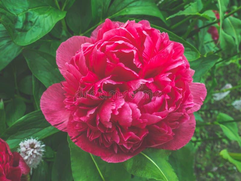 一朵美丽的紫色牡丹花的特写镜头视图在反对软被聚焦的背景的庭院里 库存图片