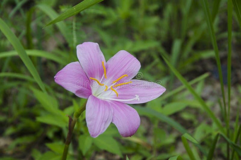一朵美丽的紫色花 免版税库存图片