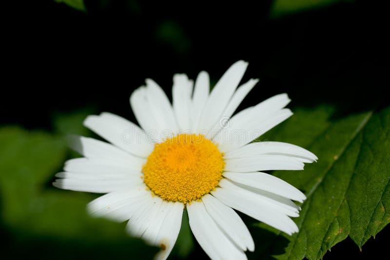 一朵美丽的花野生雏菊的宏观照片 与白色瓣的雏菊花 开花的春黄菊在草甸增长反对 免版税库存照片