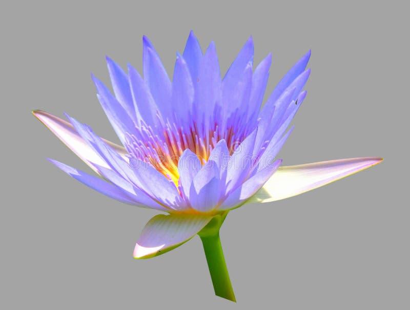 一朵美丽的莲花的花 库存图片
