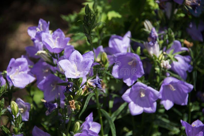一朵美丽的蓝色风轮草花在绿色土壤背景中 库存照片