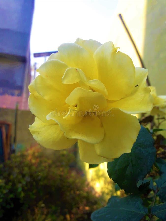 一朵美丽的轻黄色罗斯花 库存图片