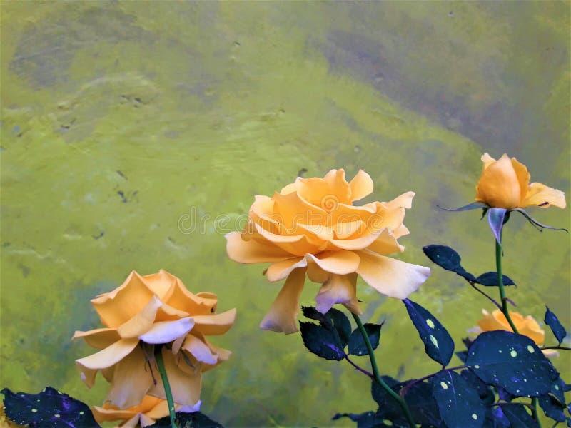 一朵美丽的轻黄色罗斯花 免版税库存照片