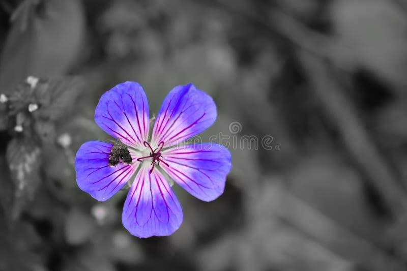 一朵美丽的霓虹紫色颜色花 库存照片