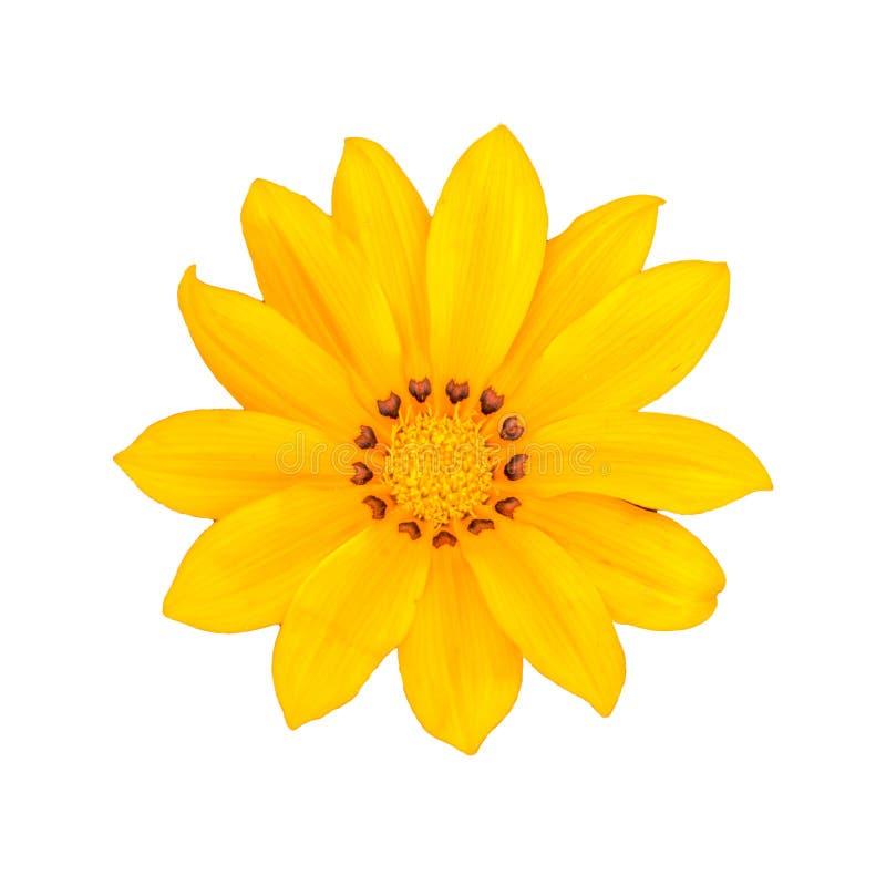 一朵美丽的黄色杂色菊属植物花在白色背景中 库存图片