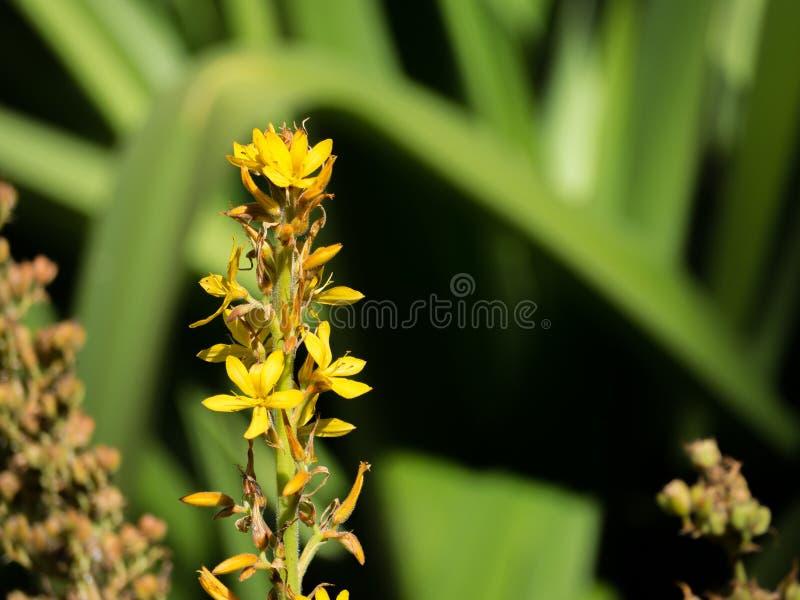 一朵美丽的黄色Wachendorfia thyrsiflora花,是产球茎的多年生植物类地方性对开普省在南非 库存照片