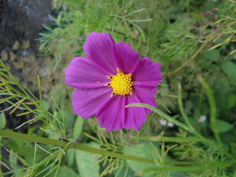 一朵美丽的紫色波斯菊花 库存图片
