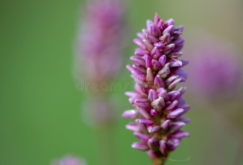 一朵美丽的smartweed花的宏观摄影 库存照片