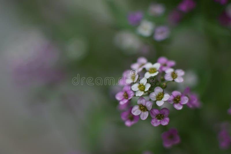 一朵美妙的矮小的白色和桃红色花,香雪球 库存照片