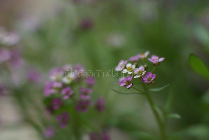 一朵美妙的矮小的白色和桃红色花,香雪球 免版税图库摄影
