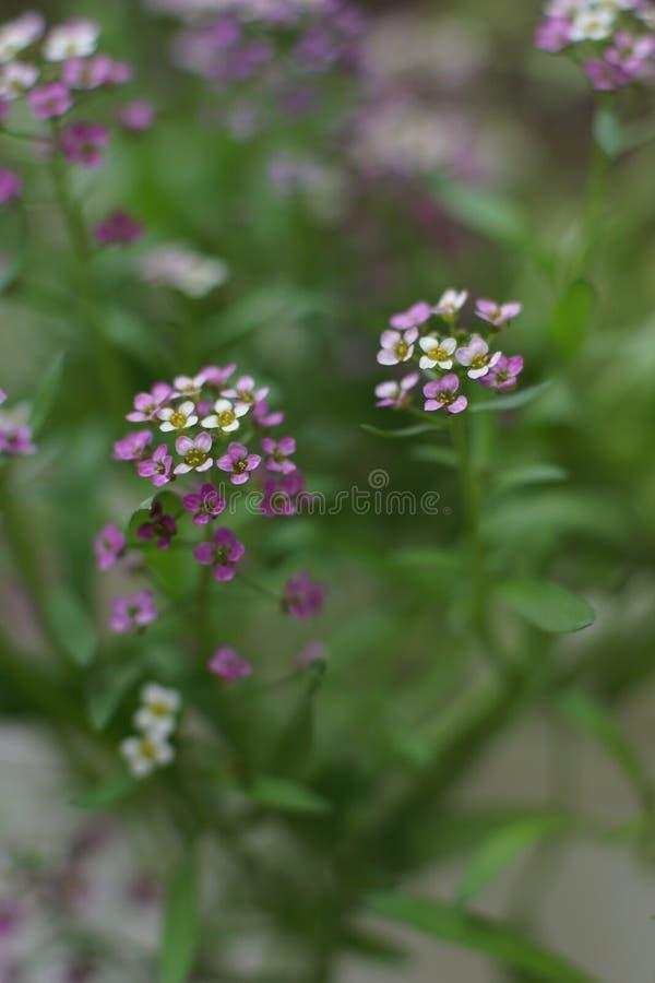 一朵美妙的矮小的白色和桃红色花,香雪球 库存图片
