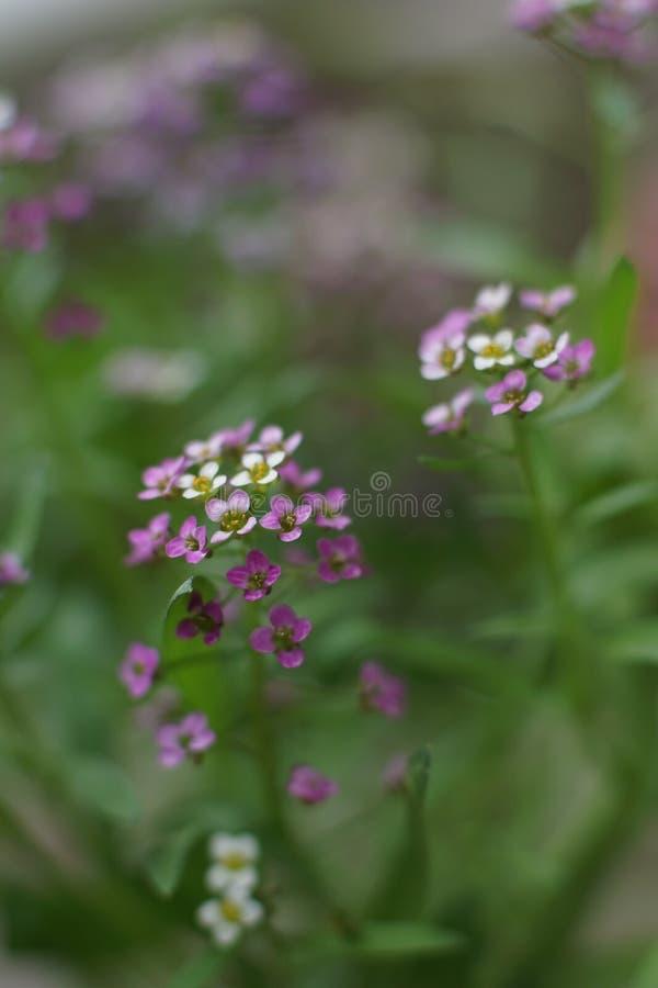 一朵美妙的矮小的白色和桃红色花,香雪球 图库摄影