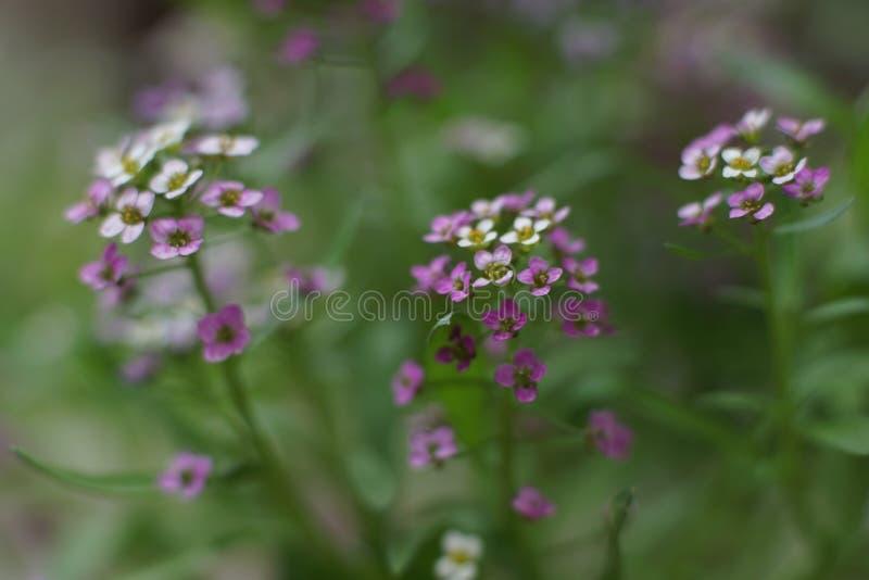 一朵美妙的矮小的白色和桃红色花,香雪球 免版税库存图片