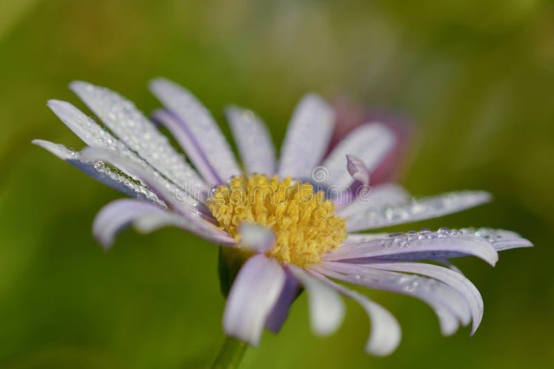 一朵翠鸟雏菊,侧视图的接近的照片与露滴的 免版税库存照片
