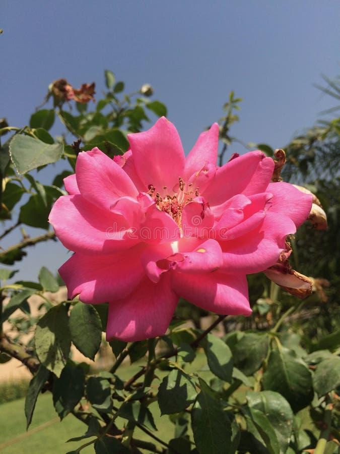 一朵花在印度 库存图片