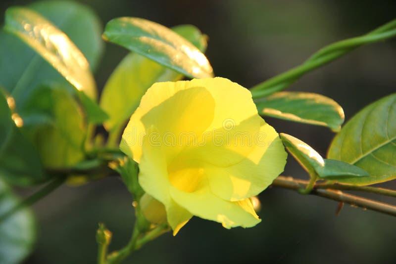 一朵花在斯里兰卡 免版税库存图片