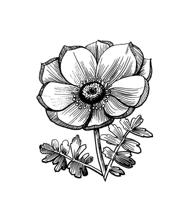 一朵花的现实剪影与叶子的 银莲花属的手拉的例证贺卡,纹身花刺或者