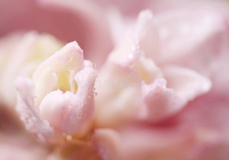 一朵花的特写镜头与露水下落的  免版税库存照片