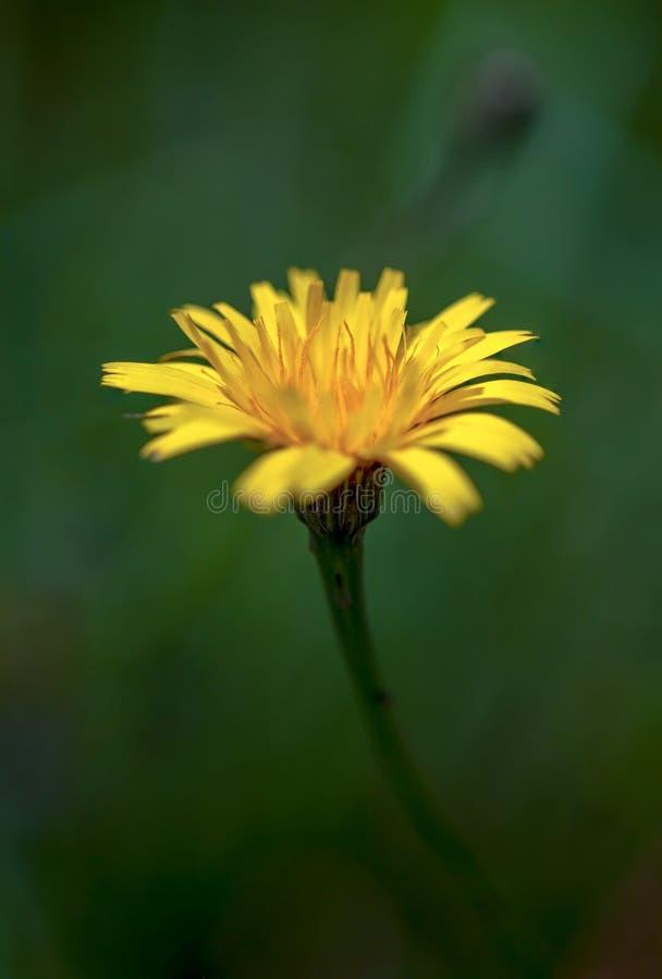 一朵蒲公英花的宏观摄影在绿色背景的 免版税库存照片