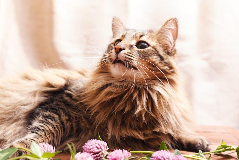 一朵蓬松灰色虎斑猫和一棵桃红色三叶草花在米黄背景 爱花的滑稽的美丽的虎斑猫 免版税库存照片