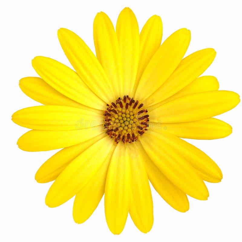 一朵被隔绝的黄色海角延命菊雏菊 免版税图库摄影