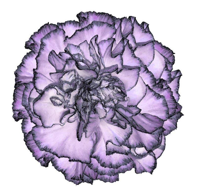 一朵轻的紫罗兰-与一黑装饰的蓝色康乃馨花在被隔绝的白色背景的水彩样式 特写镜头 对des 库存例证