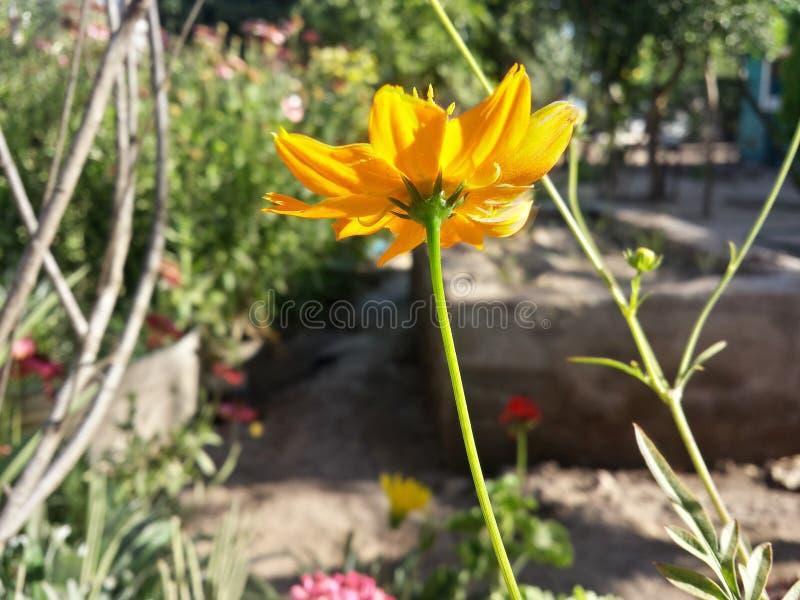 一朵逗人喜爱的黄色花 库存照片