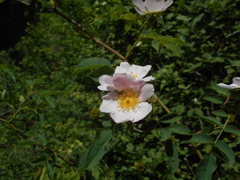 一朵野生玫瑰的浅粉红色的黄色开花在意大利的mounains的 免版税库存照片