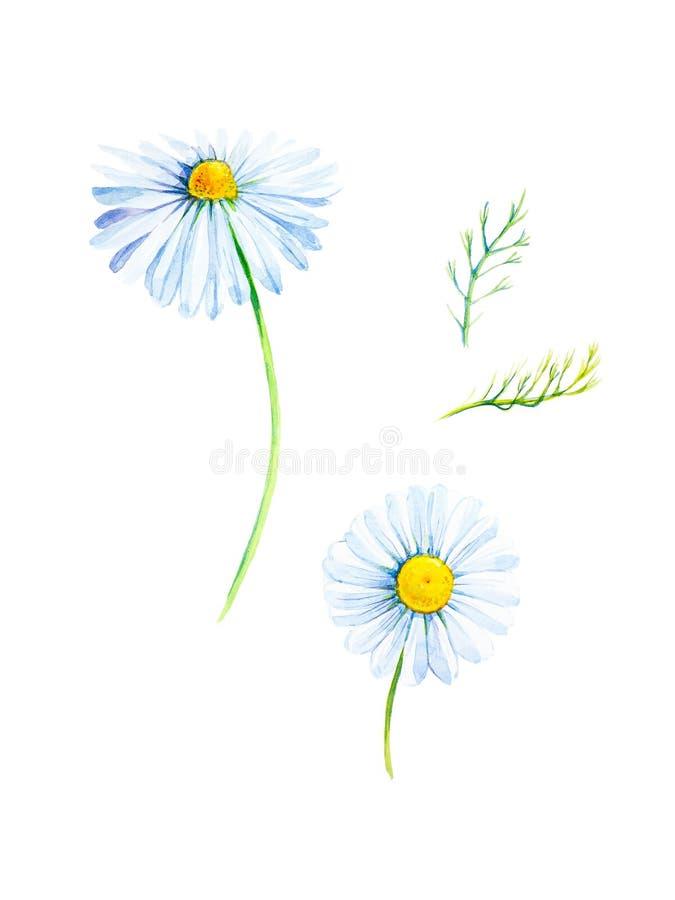 一朵雏菊花的水彩例证与分支的 背景查出的白色 库存例证
