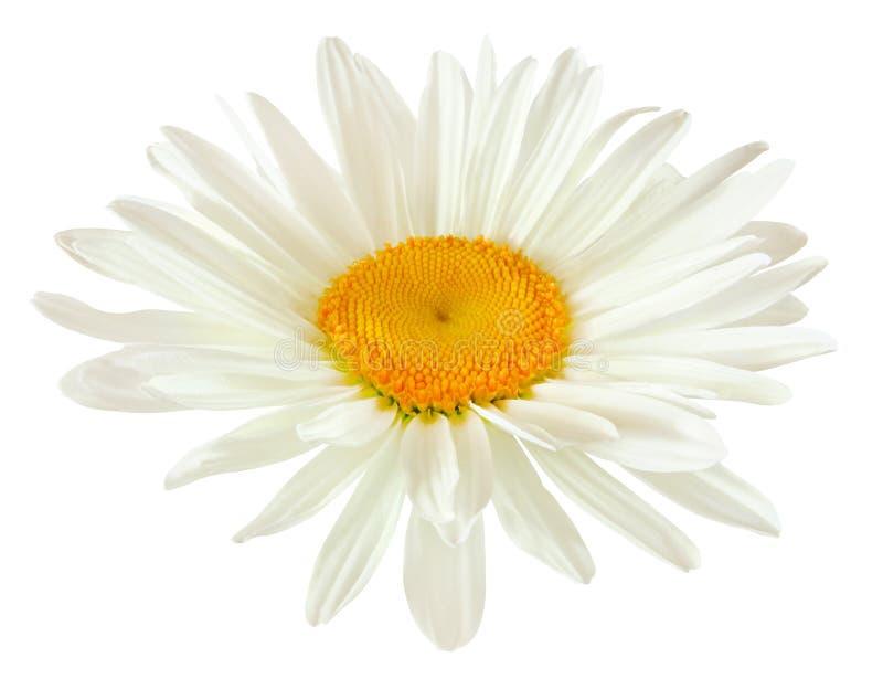 一朵雏菊花的芽与在白色backgr隔绝的白色瓣的 免版税库存照片