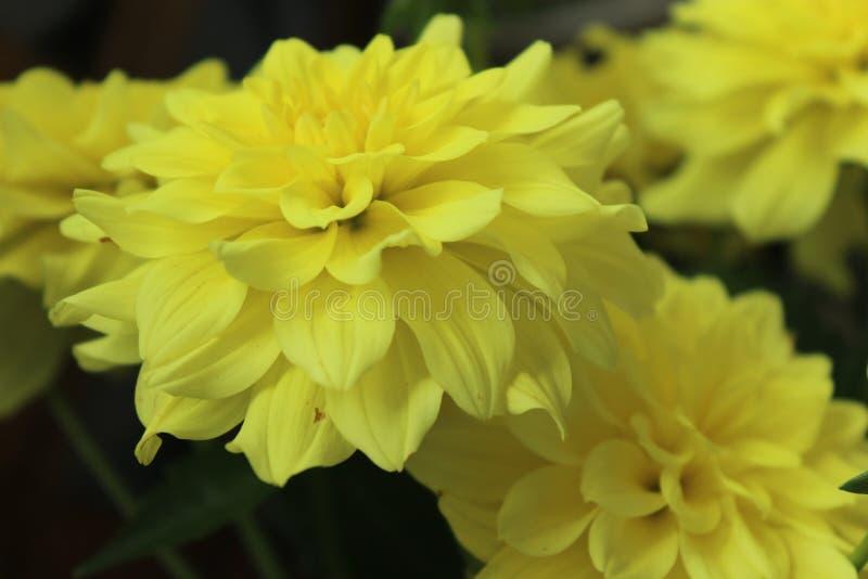 一朵黄色大丽花 免版税库存照片