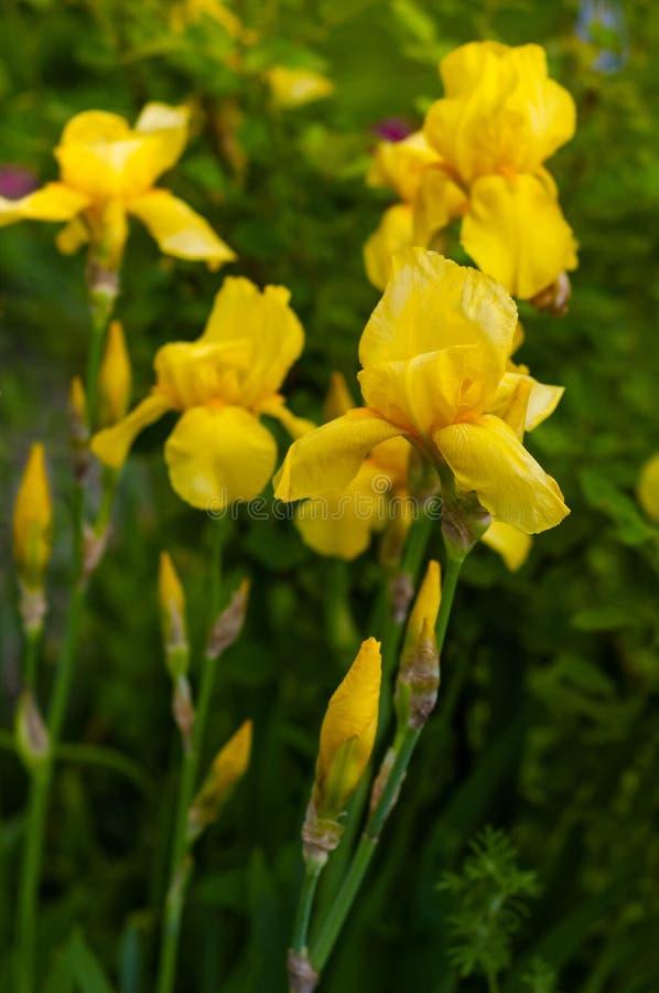 一朵黄色虹膜花的特写镜头视图在花和绿色叶子背景的  免版税库存照片