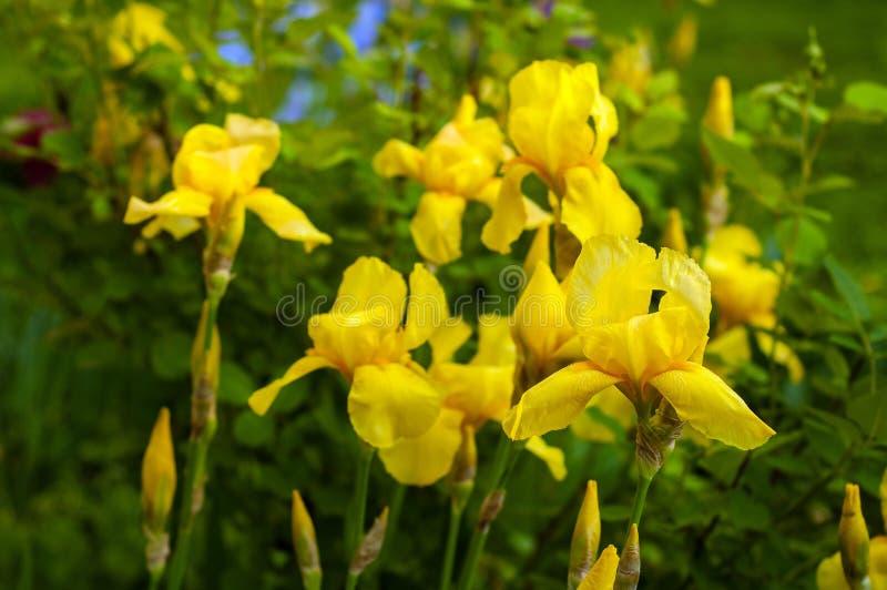 一朵黄色虹膜花的特写镜头视图在花和绿色叶子背景的  库存照片