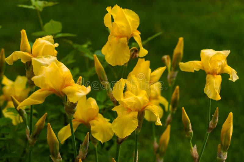 一朵黄色虹膜花的特写镜头视图在花和绿色叶子背景的  库存图片