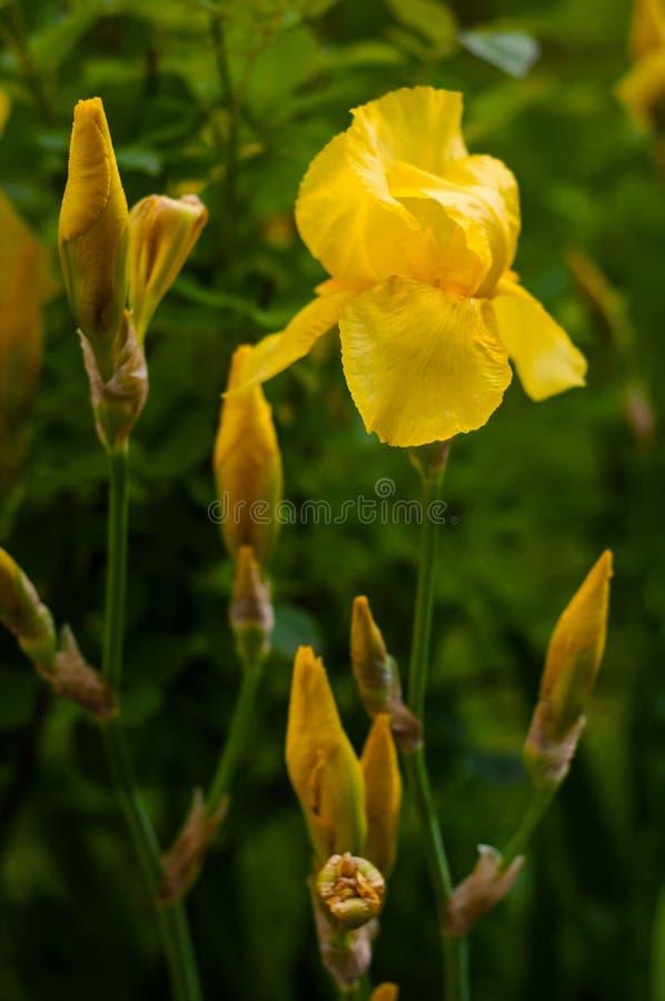 一朵黄色虹膜花的特写镜头视图在花和绿色叶子背景的  免版税图库摄影