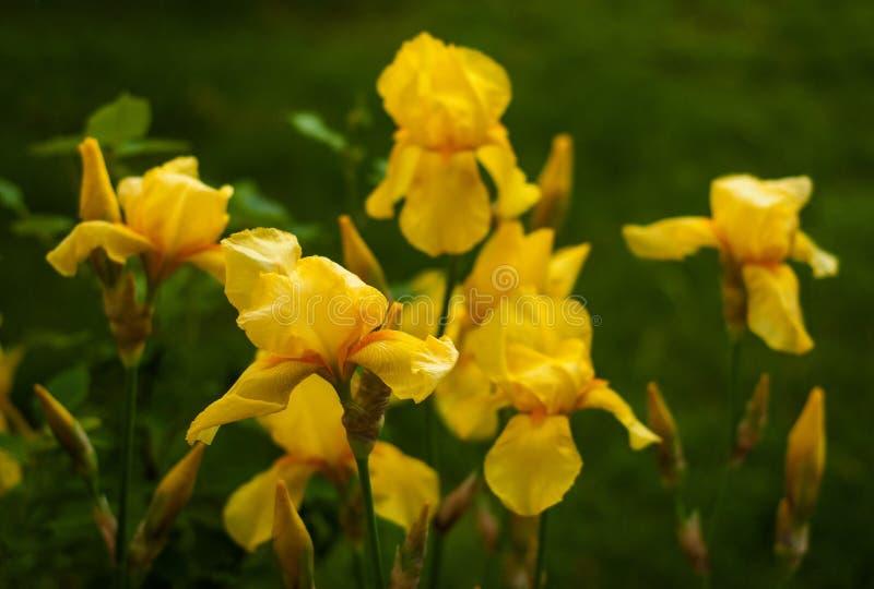 一朵黄色虹膜花的特写镜头视图在花和绿色叶子背景的  免版税库存图片