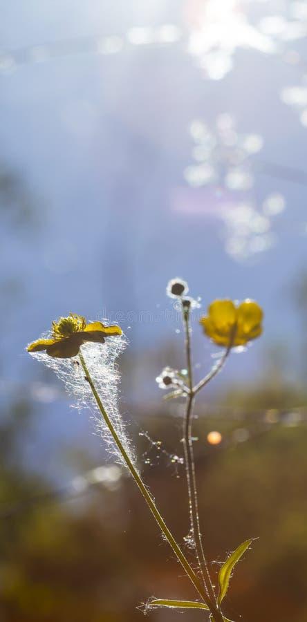 一朵黄色野花的细节的HDR照片在蜘蛛网盖的用发光在背景中的太阳 库存图片