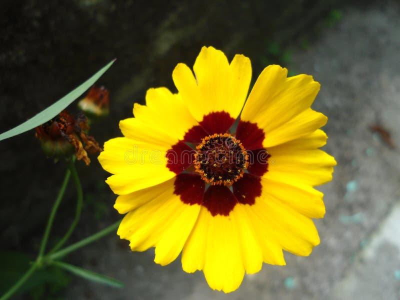一朵黄色花的美好的宏指令 图库摄影
