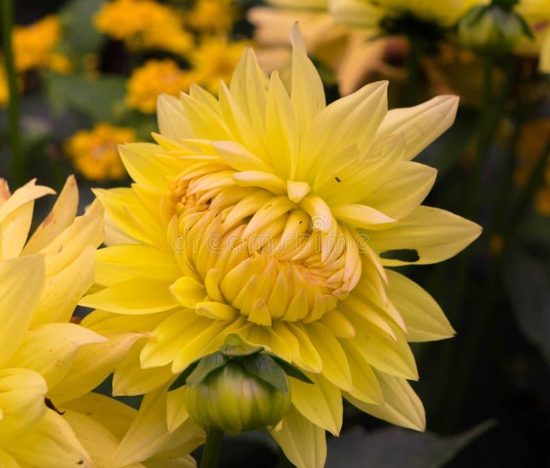 一朵黄色非开头菊花的花的特写镜头 库存图片
