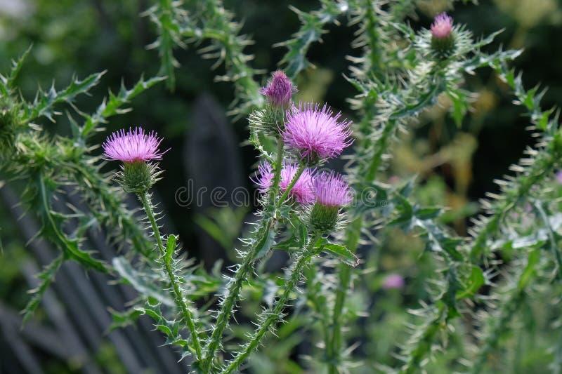 一朵紫色Carduus Acanthoide花 亦称一株多刺的plumeless蓟 库存图片