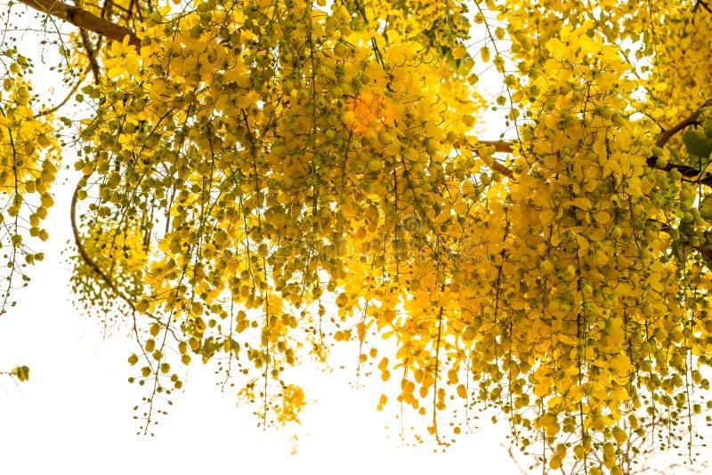 一束与通过发光反对明亮的白色背景的阳光的黄色金黄阵雨花 免版税库存图片