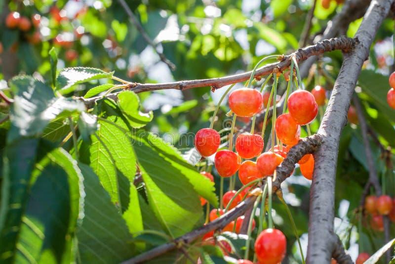 一束在一棵树的分支的白色成熟樱桃与绿色叶子的 库存照片