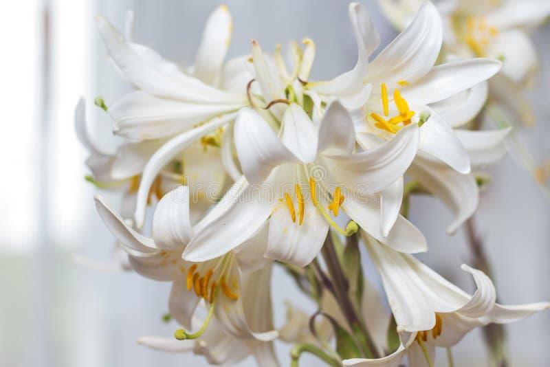 一束白百合装饰屋子 白花作为一个美国兵 库存照片