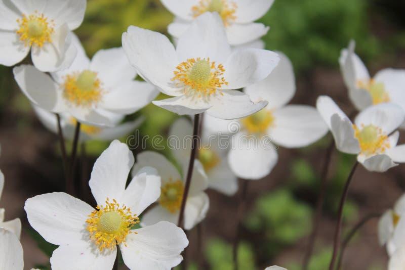一束白花在一个土气庭院里 夏天开花 花开了花 夏天芳香 库存照片