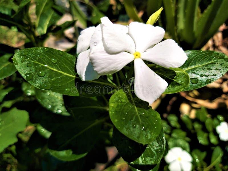 一束美丽的微小的白花 库存照片