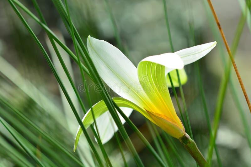 一束美丽的白花的特写镜头照片,与突出在瓣的线的背后照明;软的绿色背景 免版税库存图片
