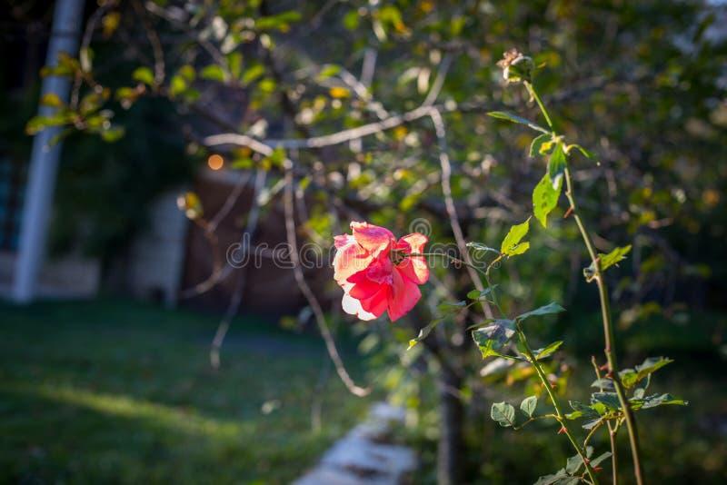一束英国兰开斯特家族族徽在庭院里 关闭 选择聚焦 库存照片