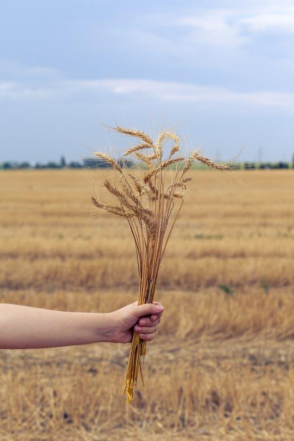 一束金黄麦子耳朵 免版税库存图片