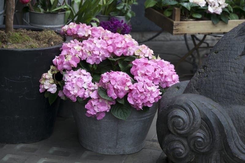 一束霍滕西亚桃红色在一个装饰花瓶开花 库存图片