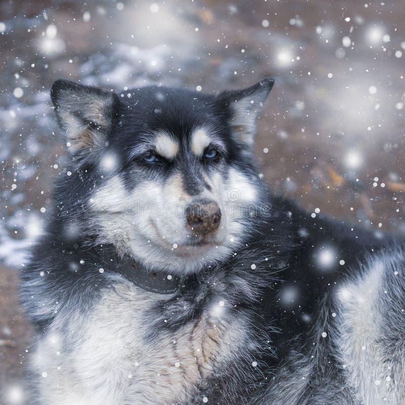 一条严肃的多壳的狗的画象在与雪花的冬天 库存照片